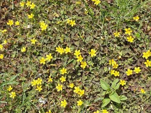 Mit Zeigerpflanzen Nahrstoffmangel Im Rasen Feststellen