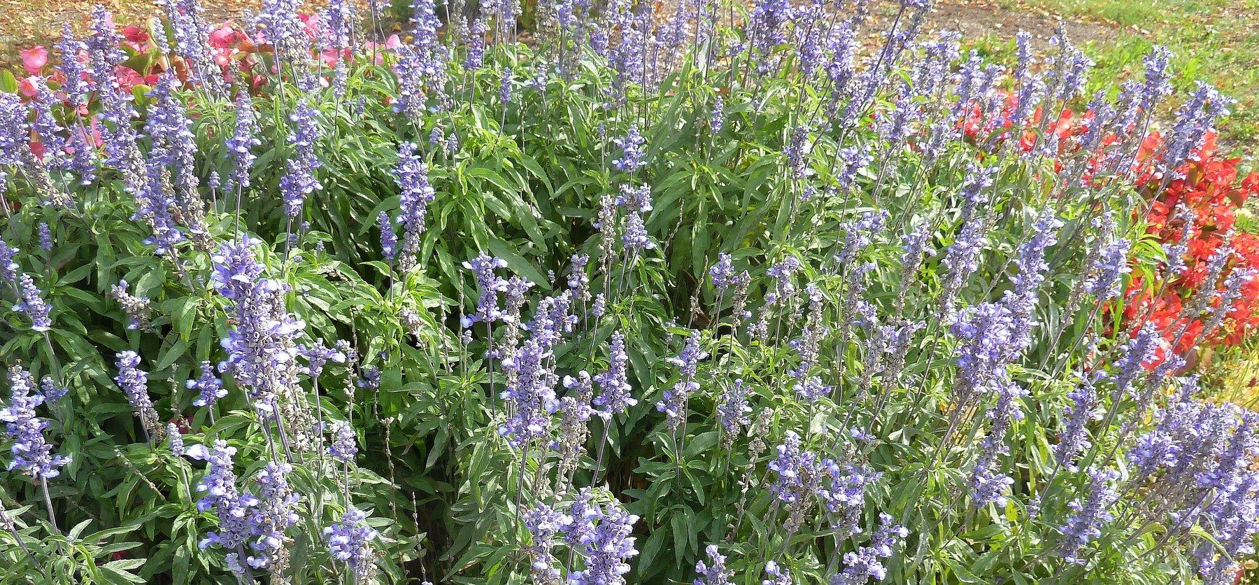 Lavendel Pflanzen Und Pflegen Lagerhaus Landforst Pflanzen