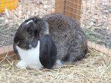 Kaninchen als Haustier
