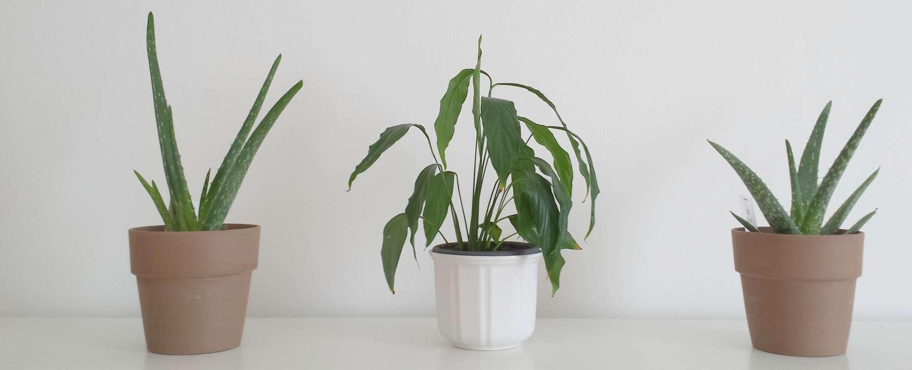 Luftreinigende Pflanzen fürs Schlafzimmer  Lagerhaus Thermenland